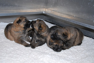 The first four puppies born at the RCMP PDSTC this year. (CNW Group/Royal Canadian Mounted Police)