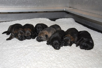 Puppies 5 to 11 born at the RCMP PDSTC this year. (CNW Group/Royal Canadian Mounted Police)