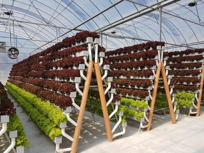 One of the Pegasus Food Futures' hydroponic farms, growing leafy green in Oman (PRNewsfoto/Pegasus Food Futures)