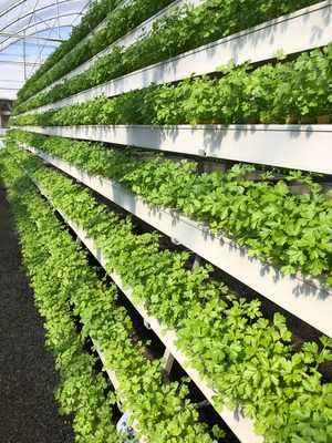 Pegasus Food Futures' parsley produce on an A-Frame (PRNewsfoto/Pegasus Food Futures)