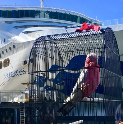Cockatoo Takes a Cruise: As Family Prepares for Australian Cruise Vacation Pet Bird Escapes from Home Lands on Different Cruise Ship and Sails to New Zealand