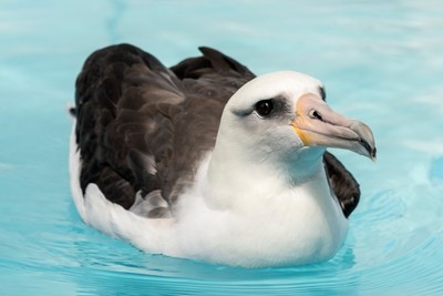 Laysan albatrosses, such as this one housed at the Monterey Bay Aquarium, appear to maintain consistent diets because they can fly efficiently and forage over extremely large areas of the North Pacific. Less efficient flyers with smaller foraging ranges, like the brown booby, seem less adaptable to changing conditions and have to change their diets more dramatically. Photo Credit: Monterey Bay Aquarium/Tyson Rininger