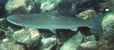 BC Steelhead Trout © Ernest Keeley, Idaho State University (CNW Group/Committee on the Status of Endangered Wildlife in Canada)