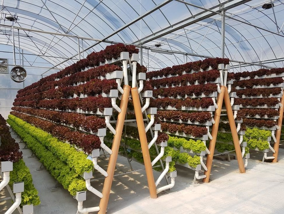 (plants) One of the Pegasus Food Futures hydroponic farms, growing leafy greens in Abu Dhabi (PRNewsfoto/Pegasus Food Futures)