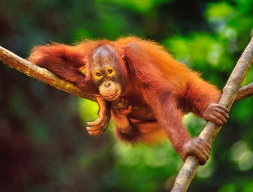 Orangutans in Sabah are well protected
