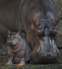 Introducing Augustus - Baby Hippo Born at Disney's Animal Kingdom is a Boy!