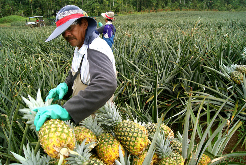 Costa Rica is one of the world's largest pineapple producers, with fruit from this country ending up on supermarket shelves across the United States and Europe. Now, thanks to a new mapping system, companies that buy pineapples from Costa Rica can guarantee that their products are deforestation-free.