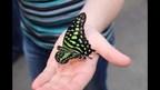Jusqu'au 2 avril prochain, la 19e édition de l'événement Papillons en fête de Jardin Hamel regroupera plus de 70 variétés de papillons exotiques dans un décor tropical majestueux. Il s'agit de la plus grande exposition de papillons en liberté jamais présentée dans l'Est du Québec. (Groupe CNW/Jardin Hamel)