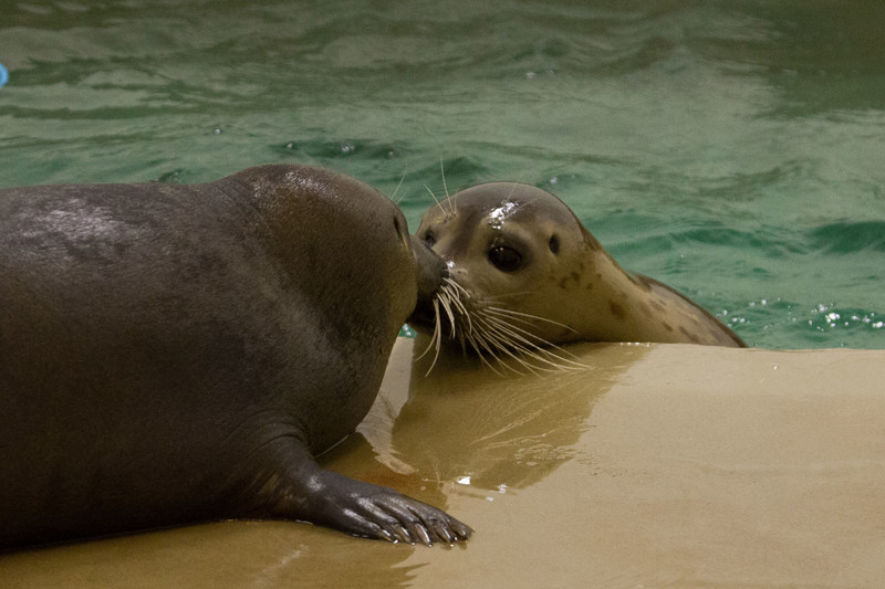 Two rescued Harbor Seal pups go together, well, like Tomato and Ravioli as they find a forever home at Moody Gardens Aquarium Pyramid in Galveston, TX.