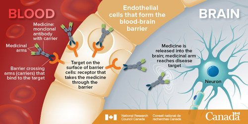 Medicinal transport across the blood-brain barrier. The NRC-Biogen team will identify new targets, shown in orange, that are best suited for taking medicine through the barrier. (CNW Group/National Research Council Canada)