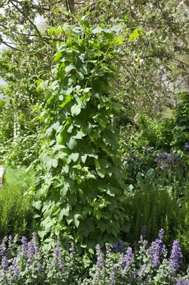 Humulus outgrowth