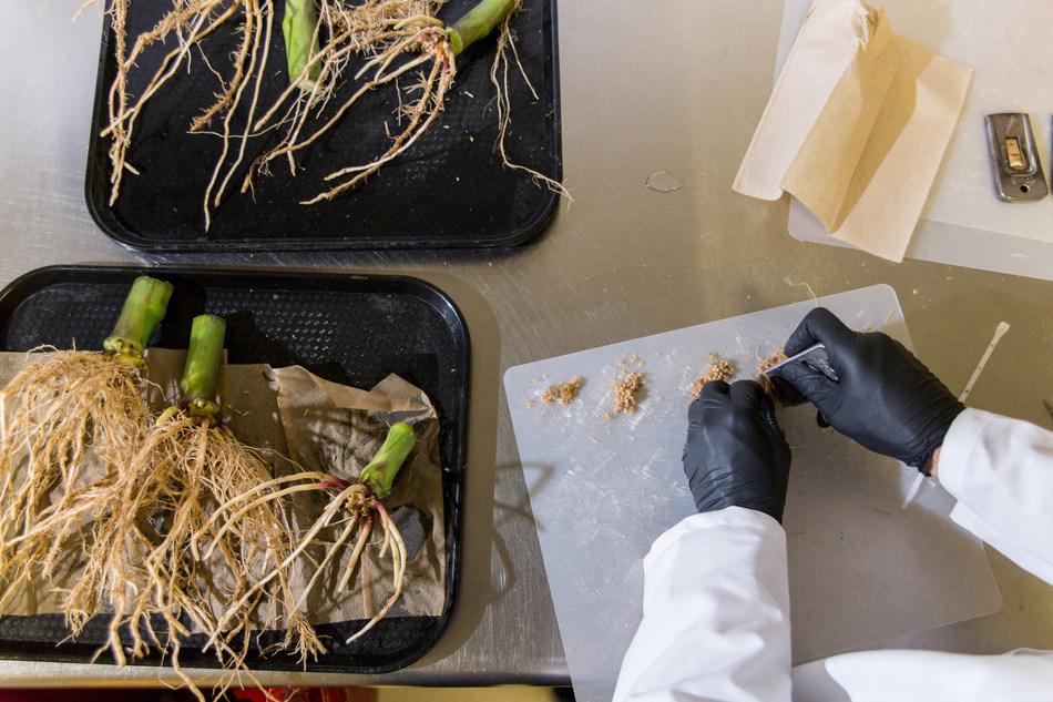 A scientist at Pivot Bio scraping corn roots to measure the colonization of Pivot Bio's nitrogen producing microbe.