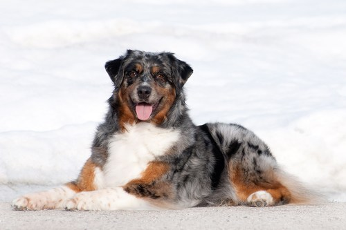 Australian Shepherd makes CKC Top 10 most popular dogs list for first time in CKC history. Canadian Kennel Club. ckc.ca (CNW Group/Canadian Kennel Club)