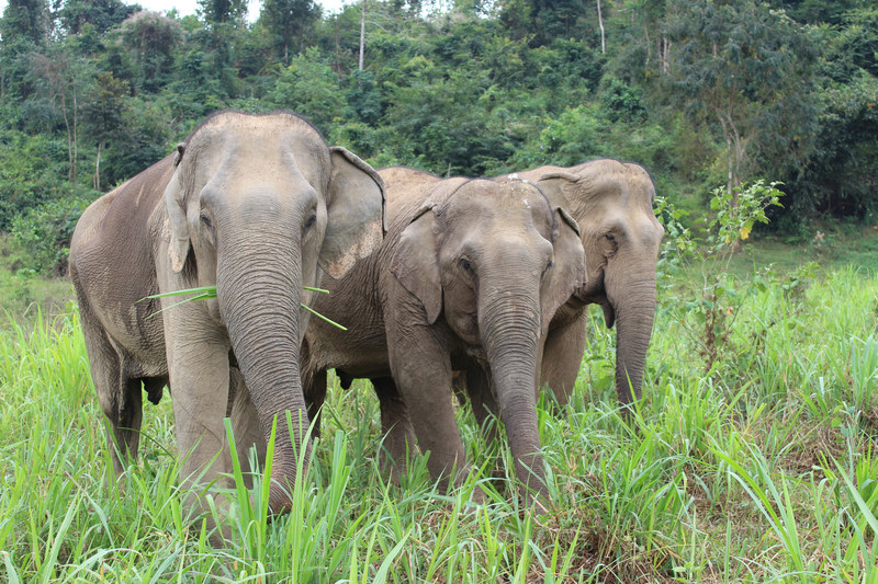 World Animal Protection supports animal friendly travel options like seeing elephants in a sanctuary and is working with the travel industry to prove that tourists want kinder options. Pictured are three rescued elephants at Boon Lott's Elephant Sanctuary (BLES) in Sukhothai, Thailand. (CNW Group/World Animal Protection)