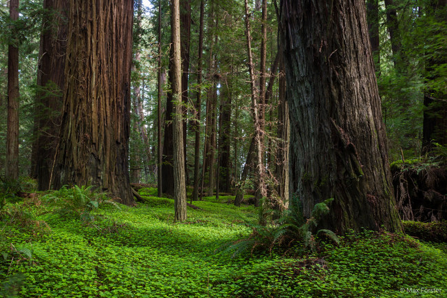 Photo by Max Forster, courtesy of Save the Redwoods League