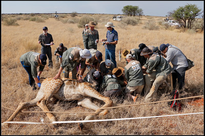 While Dr. Deacon fits a GPS collar, the research team collects numerous physiological samples that will aid biologists in understanding more about giraffes.