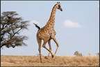 An adult Cape Giraffe is released after being fitted with a new GPS collar.