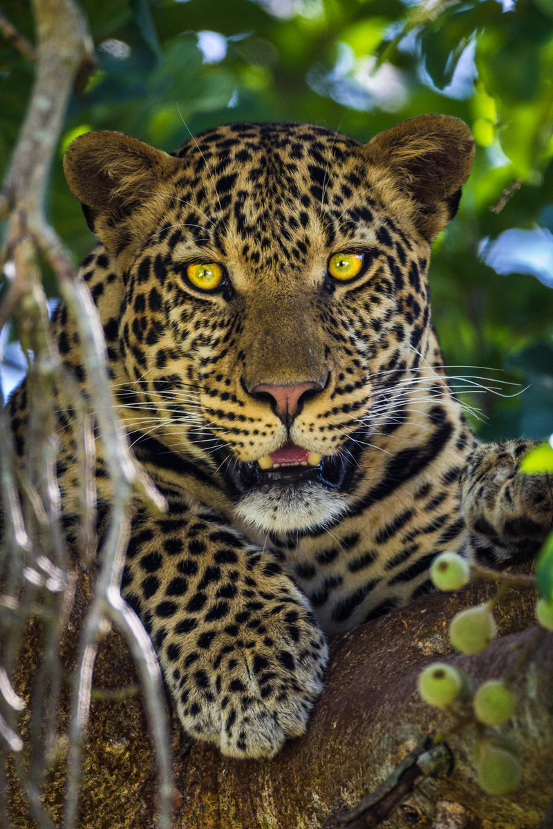 Capture beautiful images like this leopard on this Luxury Photography Safari in Tanzania