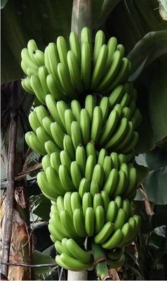 The newest Cavendish banana somaclone cultivar (GCTCV-218-2) is characterized by moderate-to-high resistance to FOC TR4, high-yields, and only mild affection by thrips.