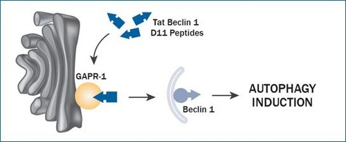 Figure 1. GAPR-1/GLIPR2 is a negative regulator of autophagy and binds Beclin1 to inhibit autophagy. In the presence of Tat-Beclin1 D11 (Tat-D11) peptides, Beclin1 bound to GAPR-1 is released, allowing Beclin1 to mediate autophagosome formation and autophagy induction. The Tat-D11 peptide is shorter and has greater potency compared to the original Tat-Beclin1 peptide, inducing the formation of over fivefold more autophagosomes and autolysosomes.