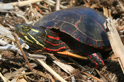 Midland Painted Turtle © Joe Crowley (CNW Group/Committee on the Status of Endangered Wildlife in Canada)