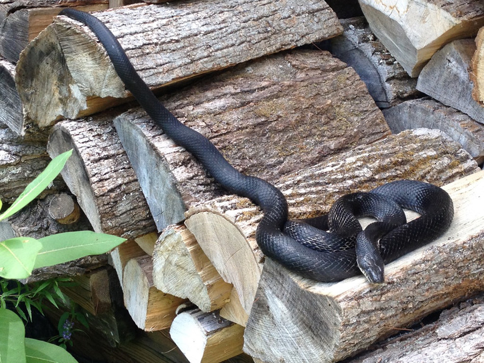 Gray Ratsnake © Danna Leaman (CNW Group/Committee on the Status of Endangered Wildlife in Canada)