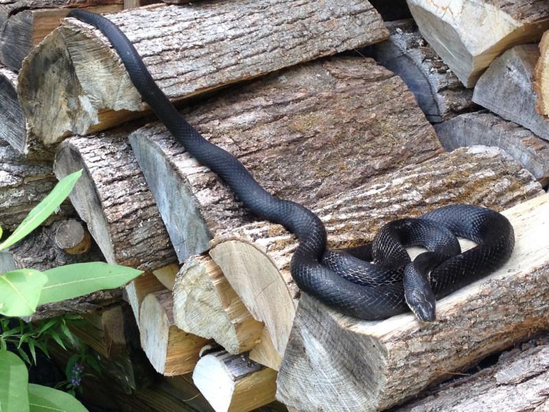 Couleuvre ratière grise © Danna Leaman (Groupe CNW/Comité sur la situation des espèces en péril au Canada)
