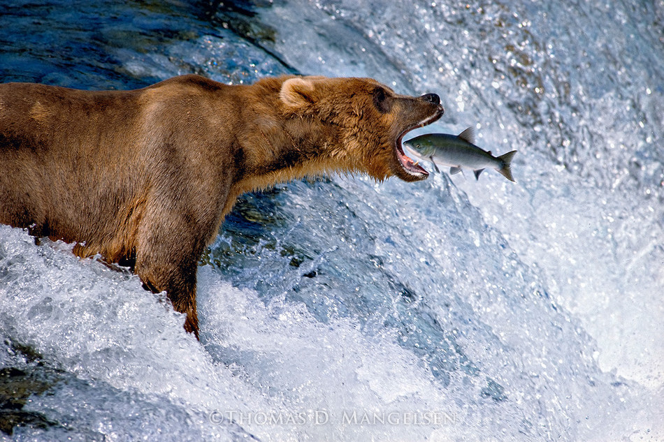 """""""Catch of the Day"""" by Thomas D. Mangelsen."""
