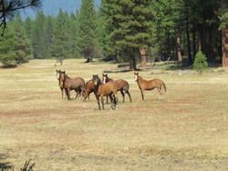 Wild horses grazed-in ideal fire-break in forest