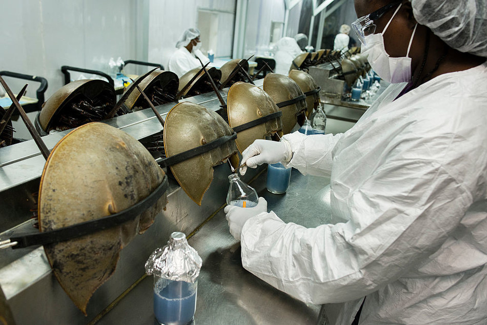Charleston, South Carolina, USA. Horseshoe crabs are bled at the Charles River Laboratory. Photograph: Timothy Fadek (Photo by Timothy Fadek/Corbis via Getty Images)
