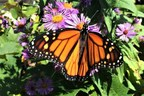Migrate with the Monarchs