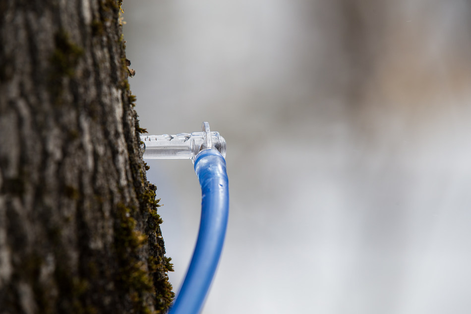 Maple syrup: A poor season marked by wide variations among Quebec maple syrup producers (CNW Group/Federation of Quebec Maple Syrup Producers)