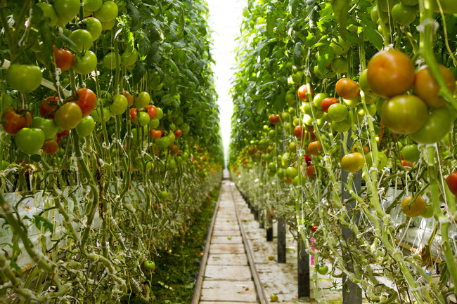 Today Wendy's announces a new initiative to source vine-ripened tomatoes for its North American restaurants exclusively from greenhouse farms, a first in the QSR industry, between now and early 2019. The move is part of the company's ongoing commitment to sourcing the freshest, highest-quality produce for its hamburgers, salads and sandwiches.