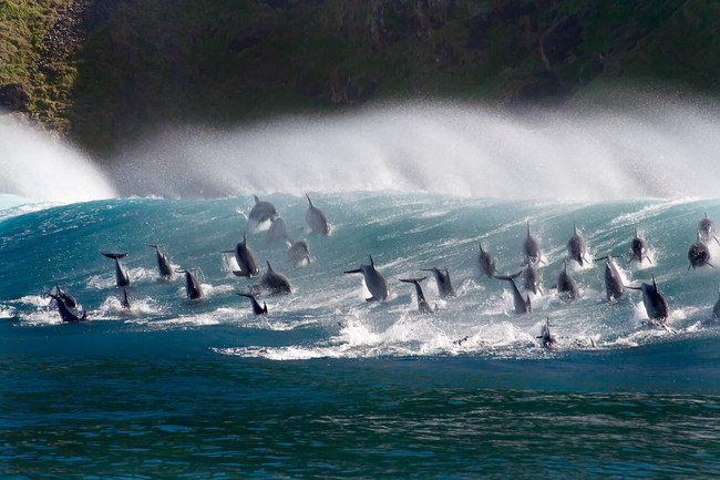 Bottlenose dolpins surf the waves in South Africa. The film Oceans: Our Blue Planet opens at the Ontario Science Centre on June 9. Photograph by Steve Benjamin. (CNW Group/Ontario Science Centre)