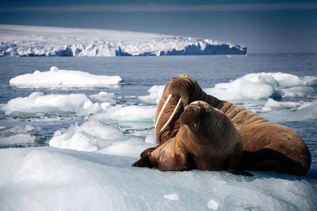 A walrus mother and her pup rest on iceberg in Svalbard, Arctic. The film Oceans: Our Blue Planet opens at the Ontario Science Centre on June 9. Photograph by Rachel Butler. (CNW Group/Ontario Science Centre)