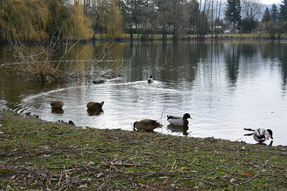Wild waterfowl are known to be the reservoir for Avian Influenza. (CNW Group/Genome British Columbia)