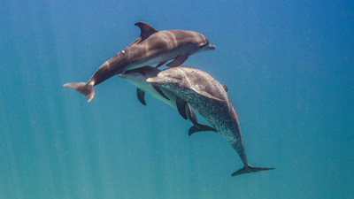 Experts study the communication of Atlantic spotted dolphins in the Bahamas
