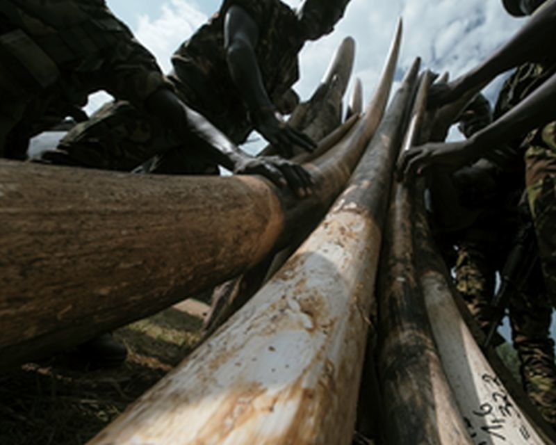 A symbolic quantity of Garamba's ivory stockpile was burned in commemoration of its 80th anniversary © Warren Smart/African Parks (PRNewsfoto/African Parks)