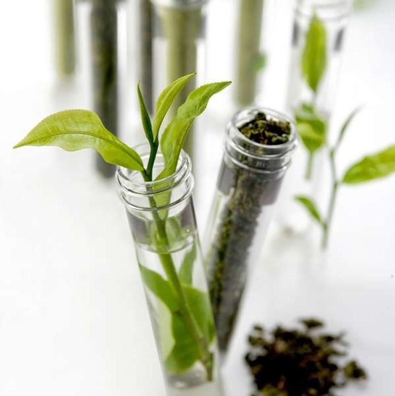The tea plant (Camellia Sinensis) extracts fluoride from the soil which accumulates in its leaves. Matured tea leaves absorb the most fluoride. It is essential to use the first or second flush teas only. As the tea leaf matures over the time, the fluoride content increases. (PRNewsfoto/Newby Teas)