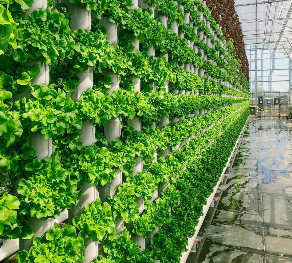 Eden Green Technology vertical vine system grows walls of produce for Crisply line sold at Walmart. Credit: Eden Green Technology