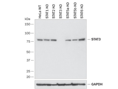Western Blot Showing Human STAT3 Specificity by using a Knockout Cell Line (HeLa). PVDF membrane was probed with 0.5 µg/mL of R&D Systems Anti-Human/Mouse/Rat STAT3 Monoclonal Antibody (Catalog # MAB1799) followed by HRP-conjugated Anti-Mouse IgG Secondary Antibody (Catalog # HAF018).