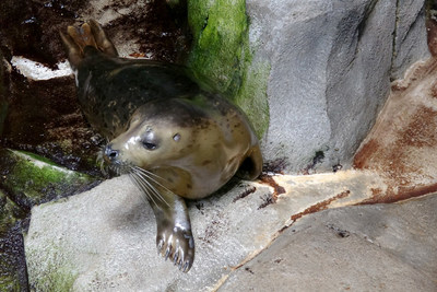 """Tomato"" the rescued harbor seal is as sweet as her name as she poses on exhibit for visitors at Moody Garden's Aquarium, Galveston, TX."