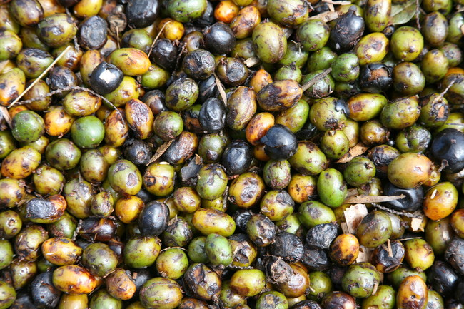USPlus™ Saw Palmetto Extract comes from ripened, dried berries which have been sustainably harvested in Florida.