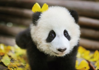 "Sichuan Airlines' Adopted Panda Baby, named ""3U"" and nicknamed ""You You"""