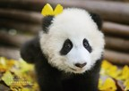 Sichuan Airlines Adopts Baby Panda to Spread