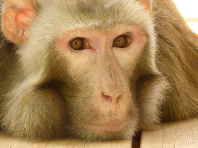 Born Free USA has kicked off a new crowdfunding campaign to support Dawkins, the rhesus macaque whose adventures at the San Antonio airport in May turned him into an international celebrity.