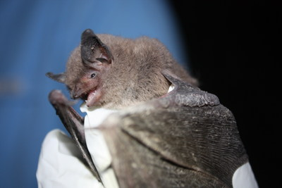 The 1,300-acre Chariton Hills Conservation Bank is the first conservation bank in Missouri and first nationwide to protect the Indiana bat (pictured) and northern long-eared bat.