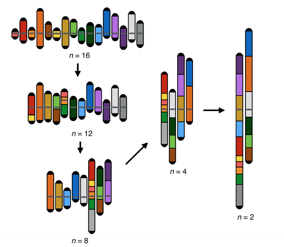 A newly constructed yeast strain grew, but could no longer interbreed with normal yeast, when researchers in steps fused the 16 naturally occurring chromosomes that house its DNA into two massive ones.
