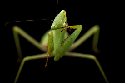 A springbok mantis (Miomantis caffra) at the Auckland Zoo, Auckland, New Zealand © Photo by Joel Sartore/National Geographic Photo Ark