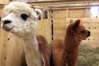 Air Canada Cargo has transported a wide variety of animals, including Alpacas (CNW Group/Air Canada)